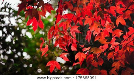 Red maple leaf , Maple in the forest