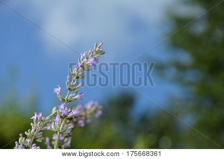 Bright lavenders - blossoms with many blue sky  in the garden (  Lavandula angustifolia  )