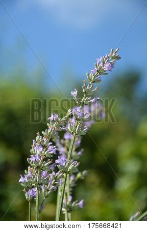 Bright lavenders - blossoms  with blue sky in the garden (  Lavandula angustifolia  )