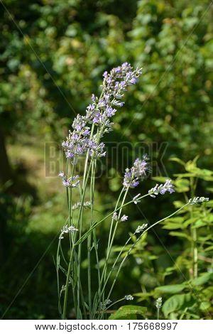Bright lavenders - blossoms in the garden (  Lavandula angustifolia  )