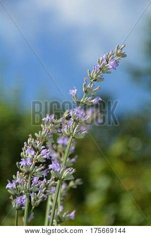 Bright lavenders - blossoms in the garden (  Lavandula angustifolia  ) with blue sky