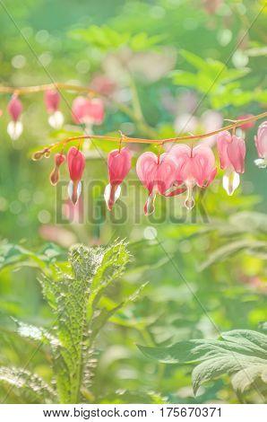 Bleeding heart flower or Dicentra spectabilis. Lyre flower love heart