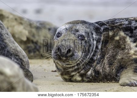 Fat spotty grey seal (Halichoerus grypus) on the beach. The Horsey wild seal colony East Anglia UK.