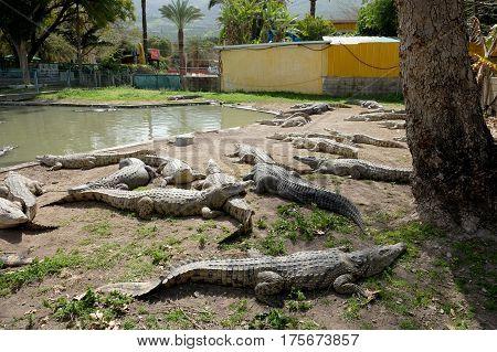 Crocodiles in the Alligator farm Hamat Gader