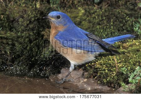 A male Eastern Bluebird, Sialia sialis on moss at the edge of a small pond
