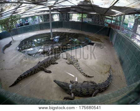 Nile crocodiles in aviary on the farm (lat. - Crocodylus niloticus)