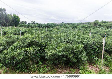 green garden pepper in Thailand , asia