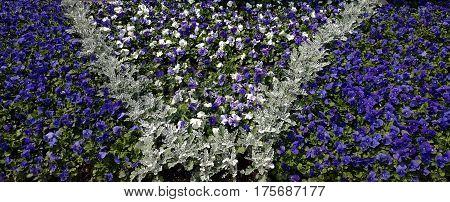 beautiful design of purple petunia flowers in the spring