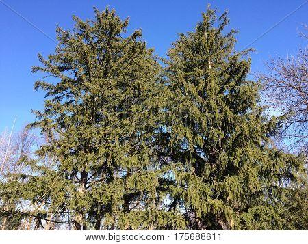 Cedar Trees in Late Winter with blue sky