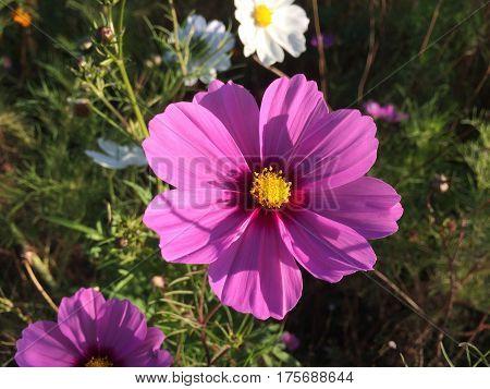 Wildflowers show beautiful colors in restored prairie habitat.