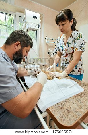 Male veterinarian and his assistant doing surgery of dog's canine removal