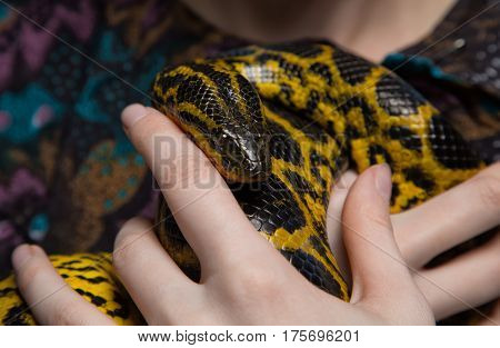 Yellow anaconda in woman's hands on colour background