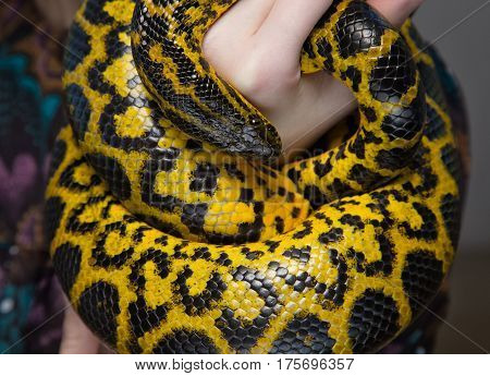 Yellow snake in woman's hands on colour background