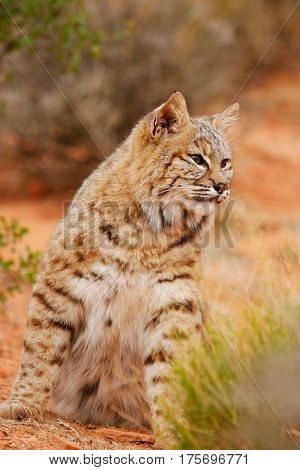 Bobcat Sitting In A Desert