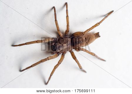 House Spider On The Wall