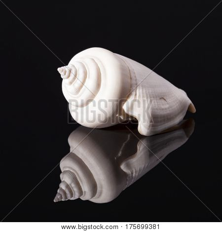 Sea shell of marine snails isolated on black background reflection