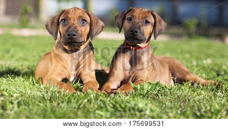 Short haired Rhodesian Ridgeback puppies lying on the grass