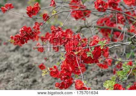 Red branches of flowering quince in spring