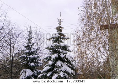 Snow-strewn tree in the beginning of winter. Late fall.