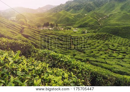 Tea plantation on hill at Cameron highland Malaysia