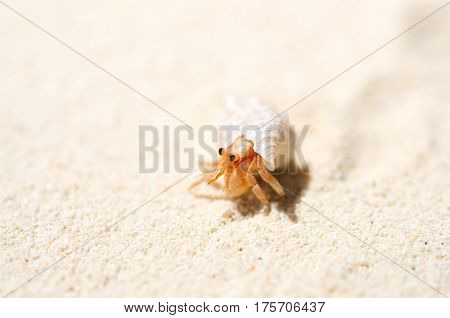Small hermit crab on the tropical island sand. Copy space