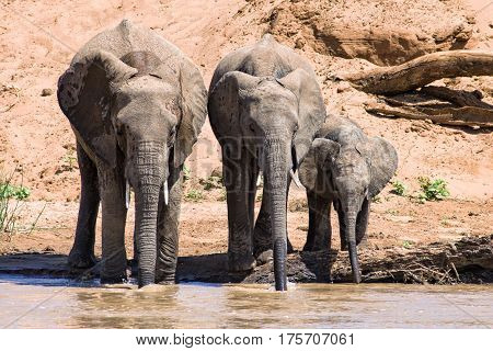 Drinking Elephant Family By River In Samburu Game Reserve