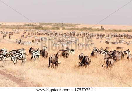 Herds Of Migrating Zebra And Wildebeest Grazing, Maasai Mara