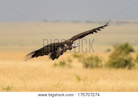 Vulture in Flight With Savannah In Distance