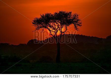 Maasai Mara Acacia Tree With Sun Behind