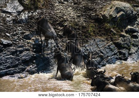 Wildebeest Migration Crossing The River, Maasai Mara