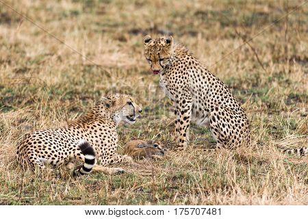 Pair Of Cheetahs With Gazelle Prey, Maasai Mara