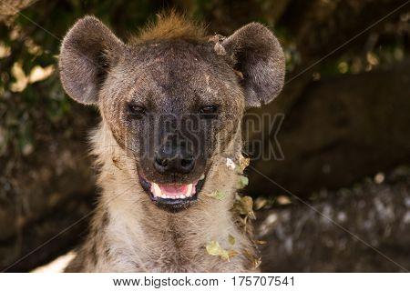 Hyena Resting in Shade Of Tree, Maasai Mara
