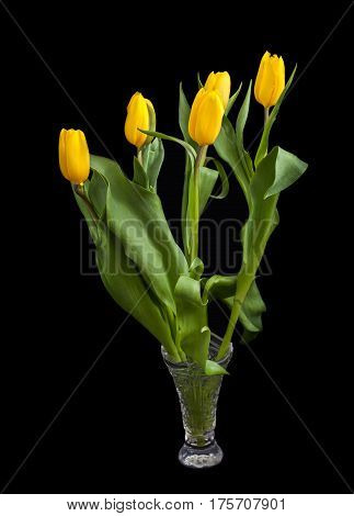 Bouquet of tulips (Tulipa fosteriana) on a dark background. Bouquet in a crystal vase. The symbol of spring.