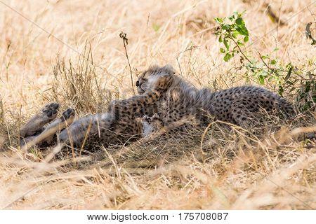 Cheetah Cubs Play Fighting In Shade, Maasai Mara