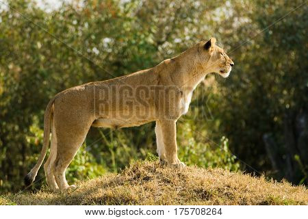 Lioness Standing On Mound In Maasai Mara