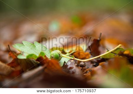 Acorn on fallen leaves, autumn in forest, noise added, soft focus. Fall in nature.
