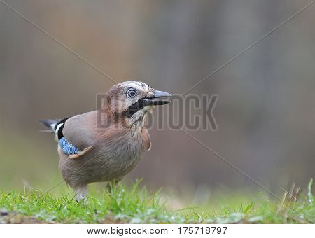 Eurasian Jay in the rain perched on the grass
