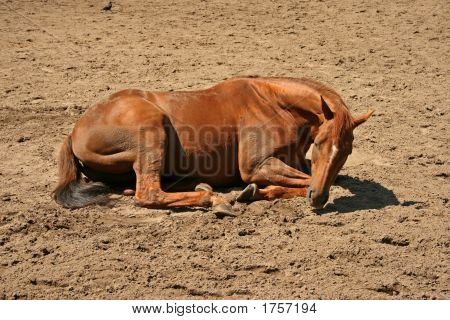 A brown horse lying on the sand poster