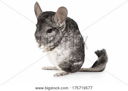 Grey chinchilla standing on hind legs isolated on a white background