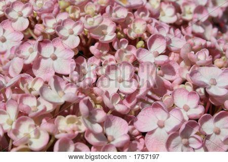 Soft Pink Hydrangea