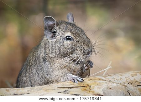 Small degu put the paw on a snag and eating something in the woods