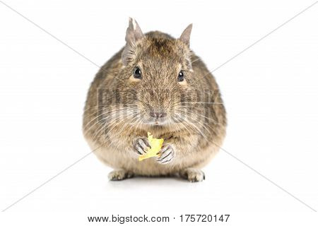 Small degu eating dried fruits isolated on a white background