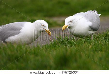 A pair of Herring Gulls feeding on earthworms