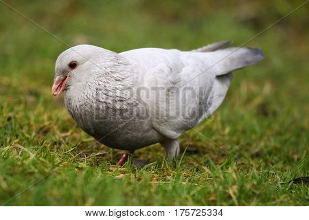 An albino pigeon searching for food on a grassy lawn