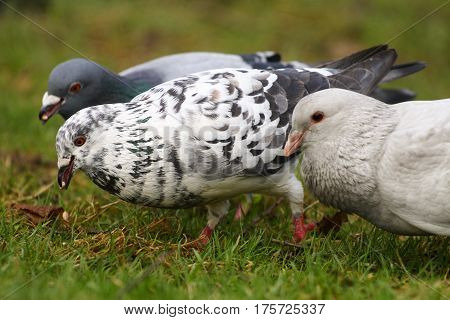 A trio of feral pigeons foraging in grass