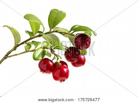 Cranberries with leaves. Lingonberries. Branches forest cowberries isolated on white.