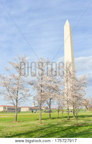 Cherry Blossom Festival in Washington DC - Washington Monument among the blossoms