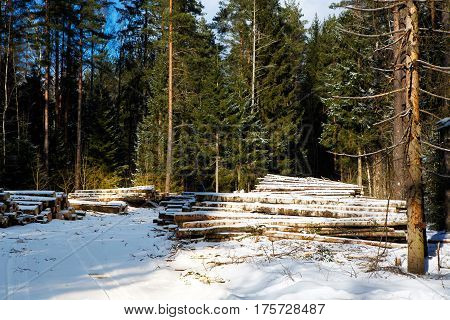 Trunks of pine felled in the winter forest.