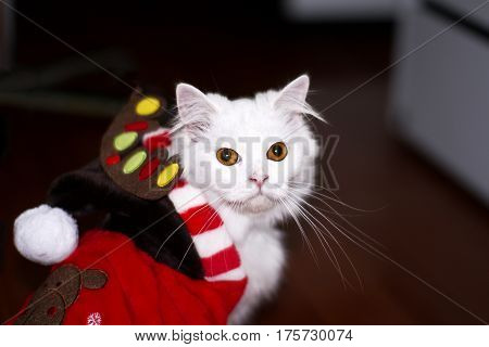 white cat christmas costume  domestic fur feline