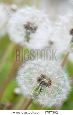White fluffy dandelion on a green background poster